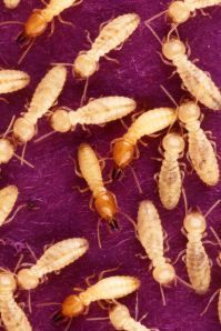 Formosan_subterranean_termites_are_feeding