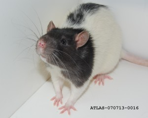 Whiskers_of_the_Hooded_Lister_Rat_ATLAS-070713-0016