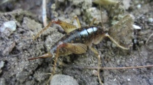 Cave_Cricket_on_Ground