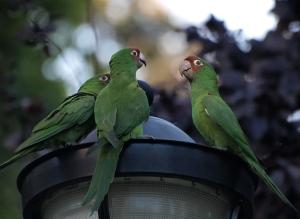 Aratinga_-San_Francisco_-feral_parrots_on_street_lamp-8