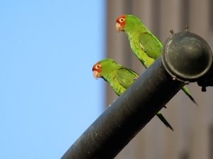 Aratinga_erythrogenys_-San_Francisco_-feral_parrots_on_traffic_light-8