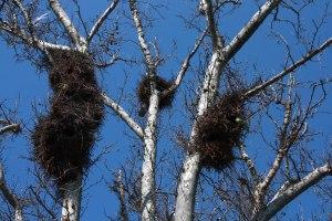 Myiopsitta_monachus_-nests_-Zaragoza_-Spain-8