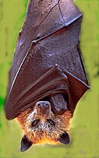 """Golden crowned fruit bat"" by Original uploader was Latorilla at en.wikipedia - Originally from en.wikipedia; description page is/was here.. Licensed under Creative Commons Attribution-Share Alike 3.0 via Wikimedia Commons - http://commons.wikimedia.org/wiki/File:Golden_crowned_fruit_bat.jpg#mediaviewer/File:Golden_crowned_fruit_bat.jpg"